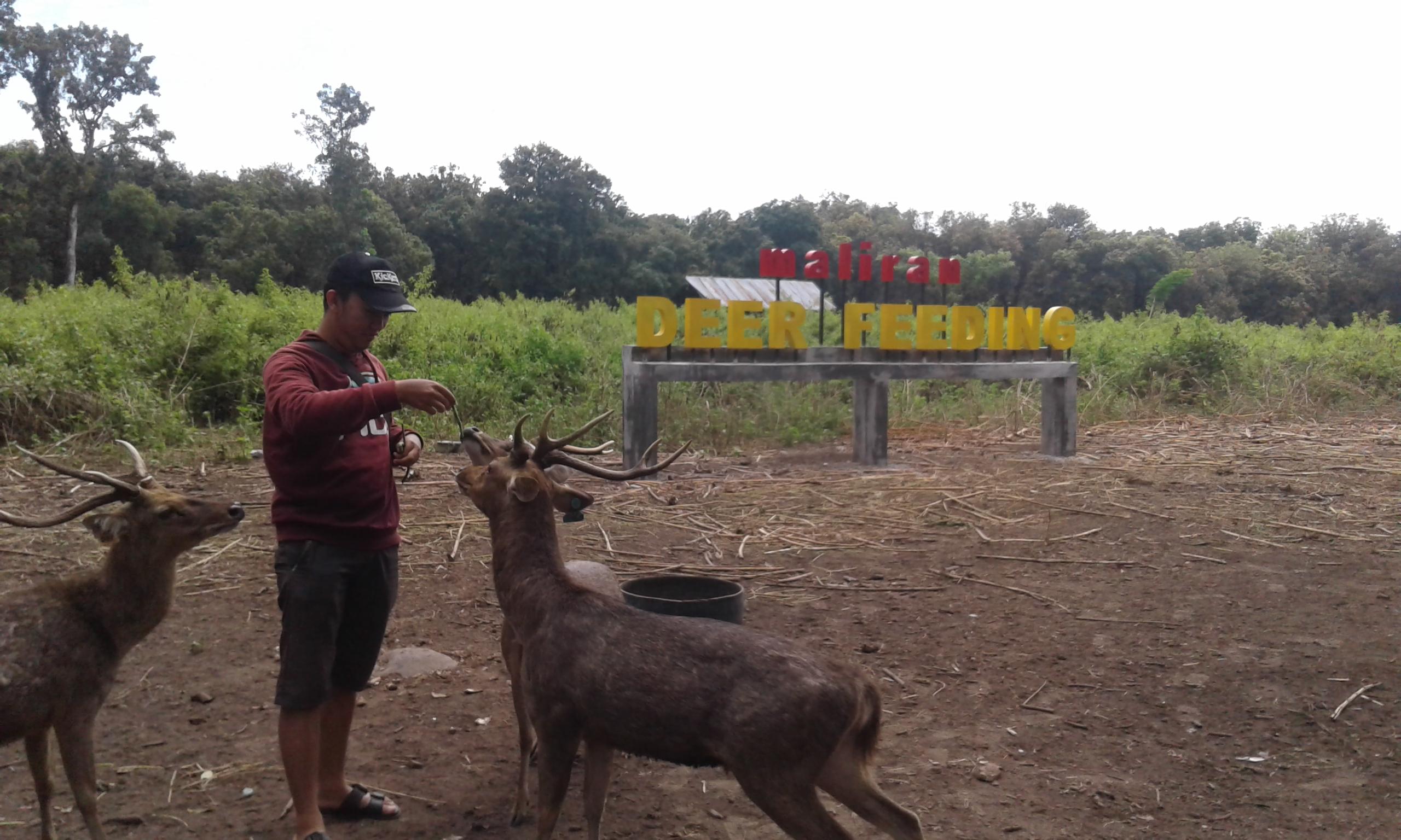 File Deer Feeding Maliran Jpeg Wikimedia Commons Penangkaran Rusa Kab