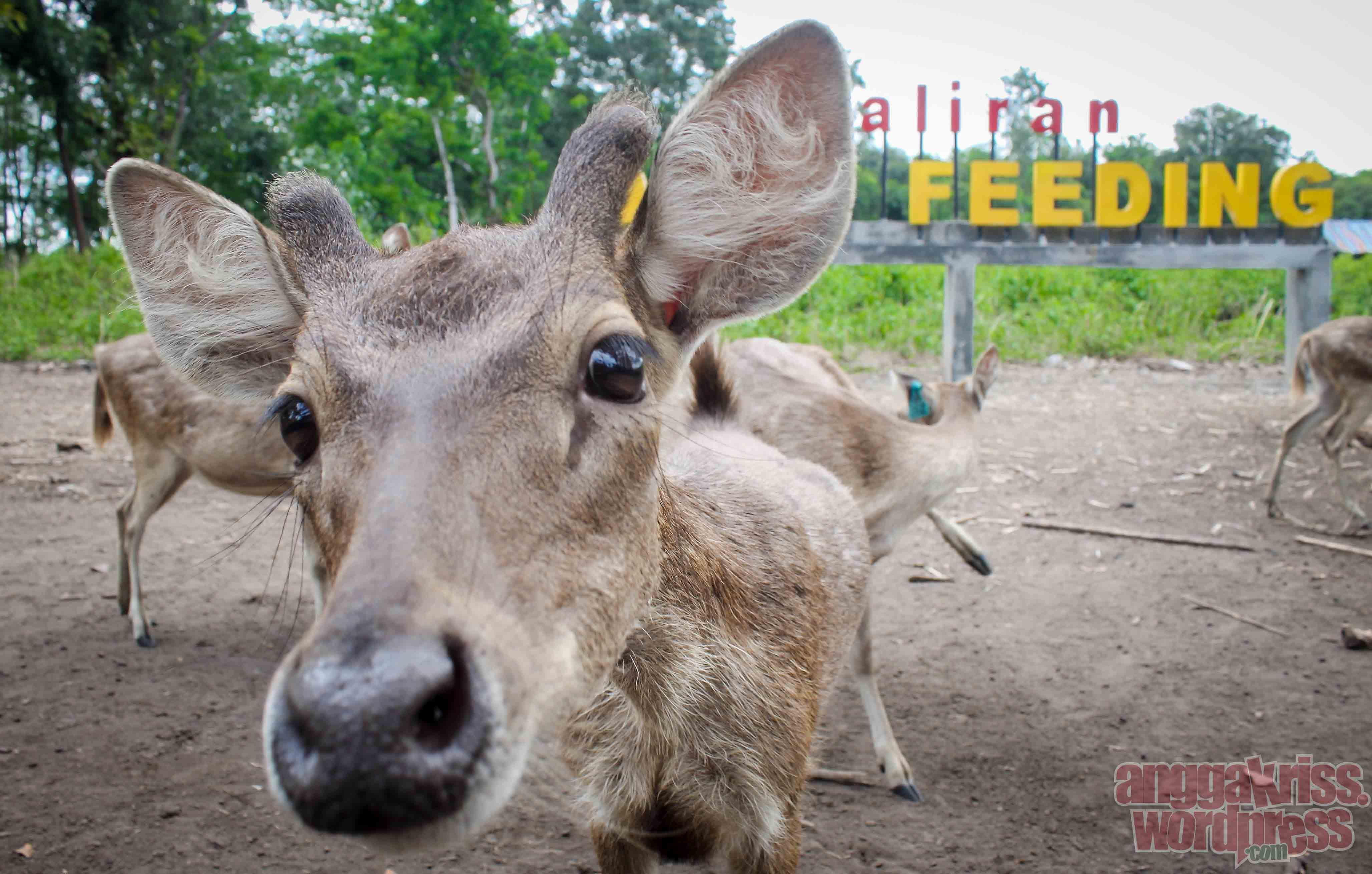Memanjakan Rusa Maliran Deer Feeding Blitar Anggakris Blog Enak Enaknya