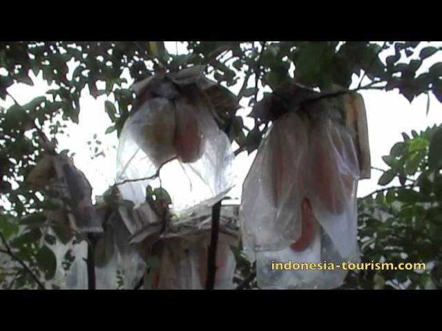 Kebon Rojo Tourism Blitar Travelerbase Traveling Tips Karangsari Agrotourism East