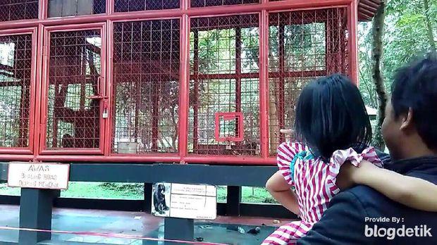 Siamang Taman Rakyat Blitar Suka Tarik Rambut Tas Pengunjung Melihat