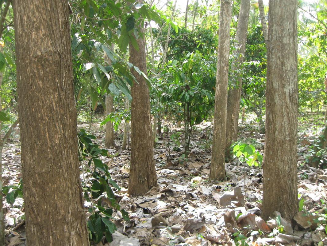 Articel Kayu Jati Bali Monumen Hutan Alam Kab Blora