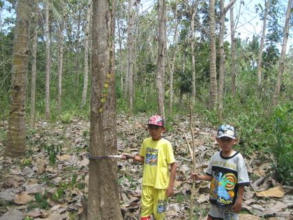 Articel Kayu Jati Bali Ribuan Pohon Siap Tebang Barat Akses