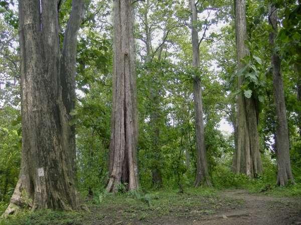 Home Indoazur Pohon Jati Termahal Terbaik Dunia Berasal Indonesia Monumen
