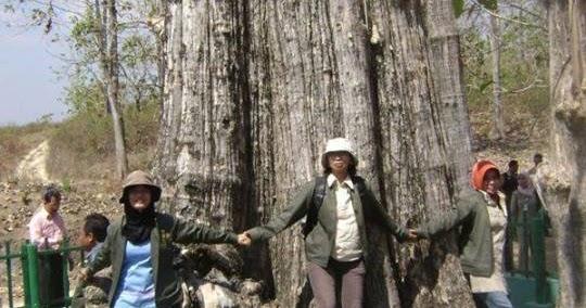 Jati Denok Raksasa Tertua Kabupaten Blora Sebagai Monumen Alam Indonesia