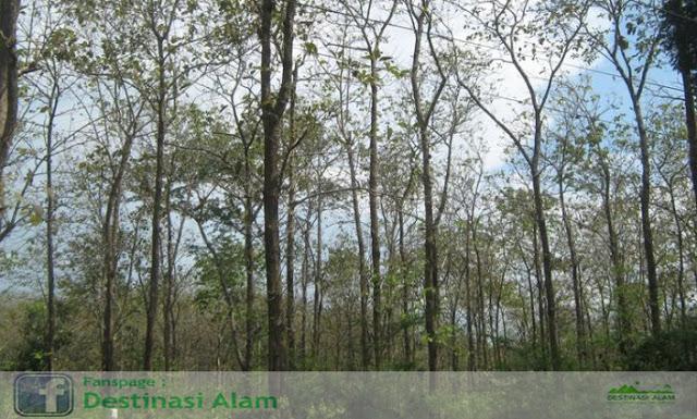 Monumen Jati Alam Blora Agrowisata Temanjang Hutan Kab