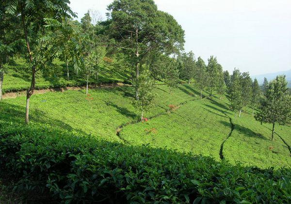 Agrowisata Gunung Mas Okezone Lifestyle Agro Kab Bogor