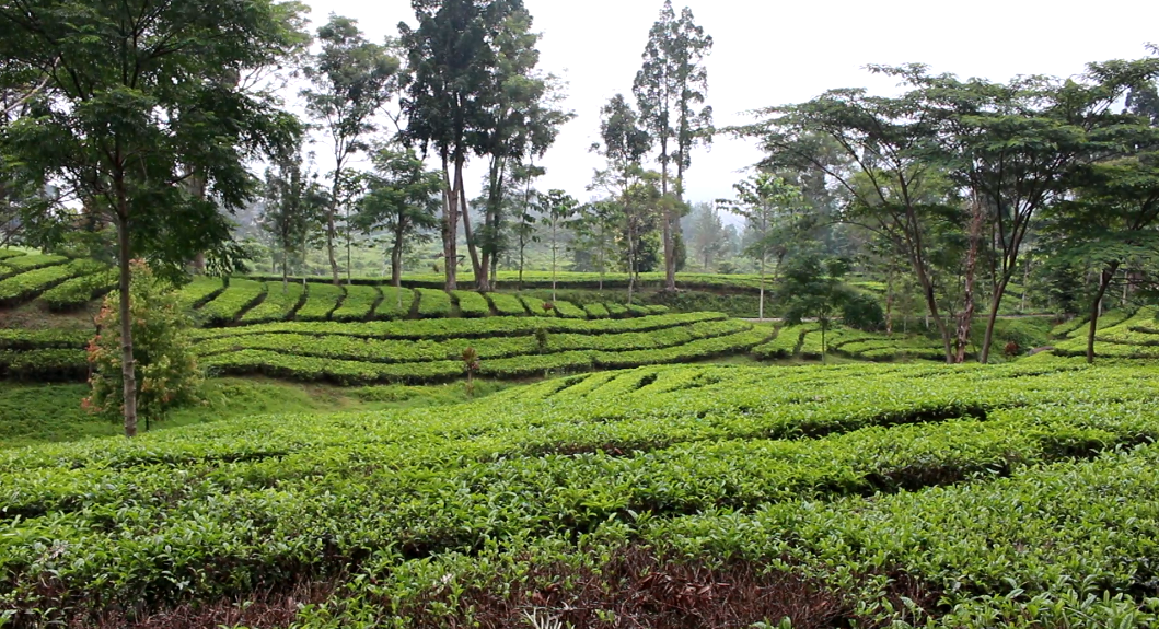 Explore Bogor Agrowisata Gunung Mas Terdapat Kebun Teh Luas Menghijau