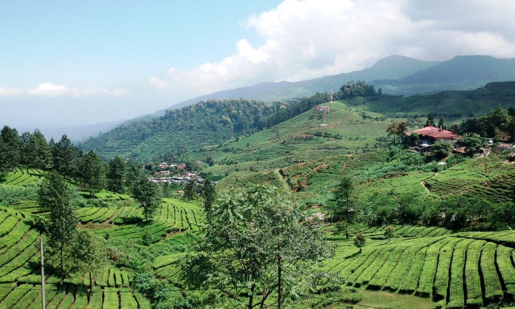 Gunung Mas Wisata Keringat Susur Kebun Teh Indeksberita Hijau Terhampar