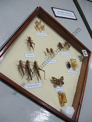 Museumindonesia Museum Zoologi Bogor Mzb Serangga Jpg Zoology Kab