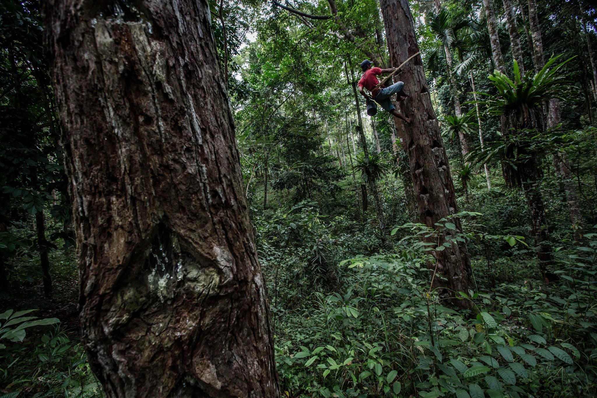 Perhutanan Sosial Merawat Getah Cifor Forests News Hutan Kab Bogor