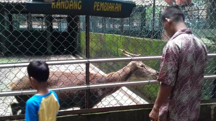 Yuk Lihat Penangkaran Rusa Hutan Cifor Bogor Tribunnewsbogor Kab