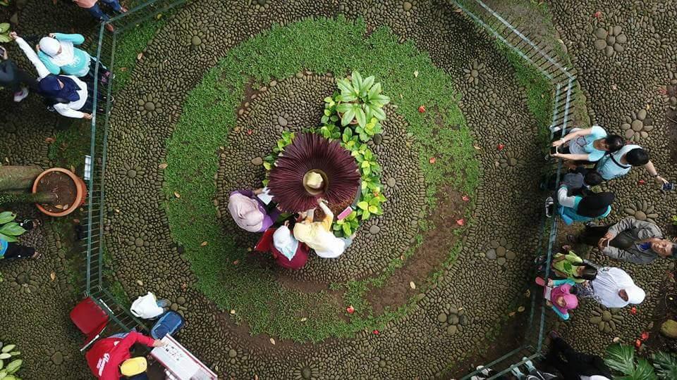 Bangkai Kebun Raya Bogor Mekar Sempurna Bunga Kab