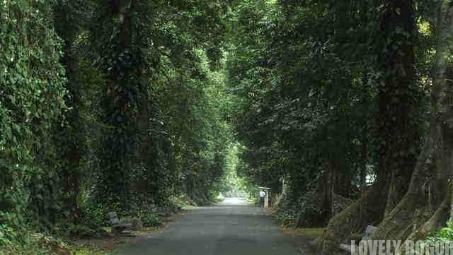 Berwisata Kebun Raya Bogor Persiapkan Diri Lovely Pohon Kenari Jejeran