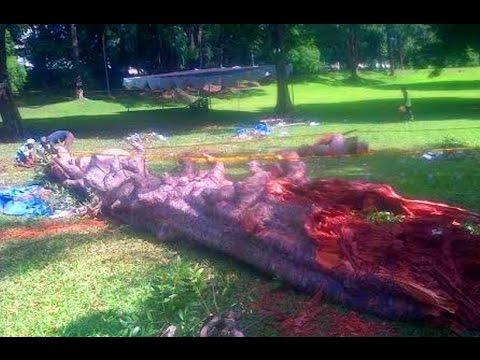 Krak Pohon Raksasa Tumbang Tewaskan 6 70 Buruh Kebun Raya