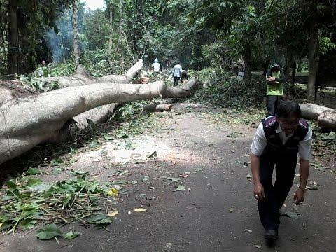 Kronologi Tumbangnya Pohon Besar Kebun Raya Bogor Youtube Kab