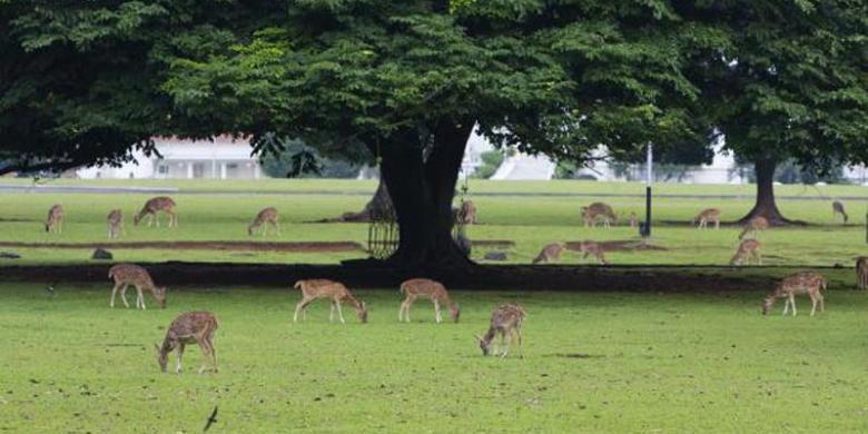 Rumput Istana Bogor Kering Mati Daun Pohon Kebun Raya Pun