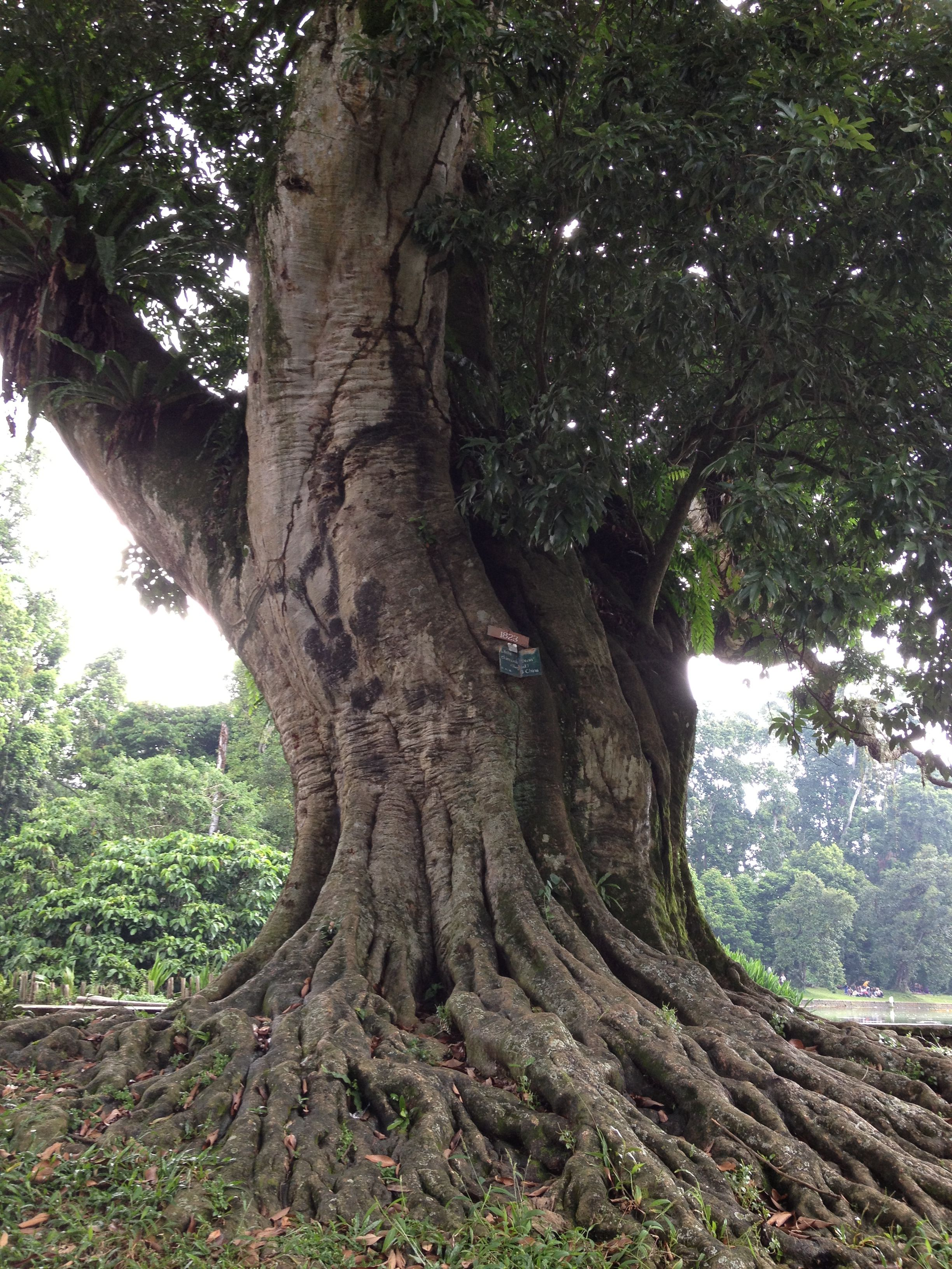 Tree Kebun Raya Bogor Indonesia Kab