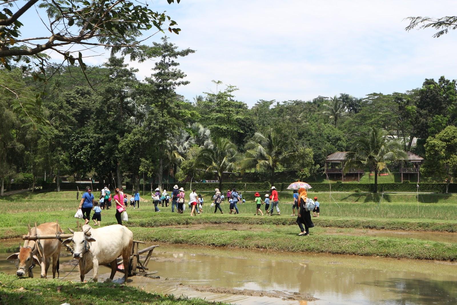 Ayah Traveling Agrowisata Pasirmukti Kebun Cukup Mudah Ditemukan Agan Kesini