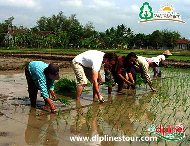 Diplines Tour Tourism Catalogue Referensi Wisata Panduan Menanam Padi Kebun