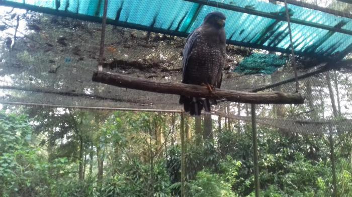 Video Sahutan Burung Elang Tempat Suaka Bikin Suasana Tribunnewsbogor Lingga