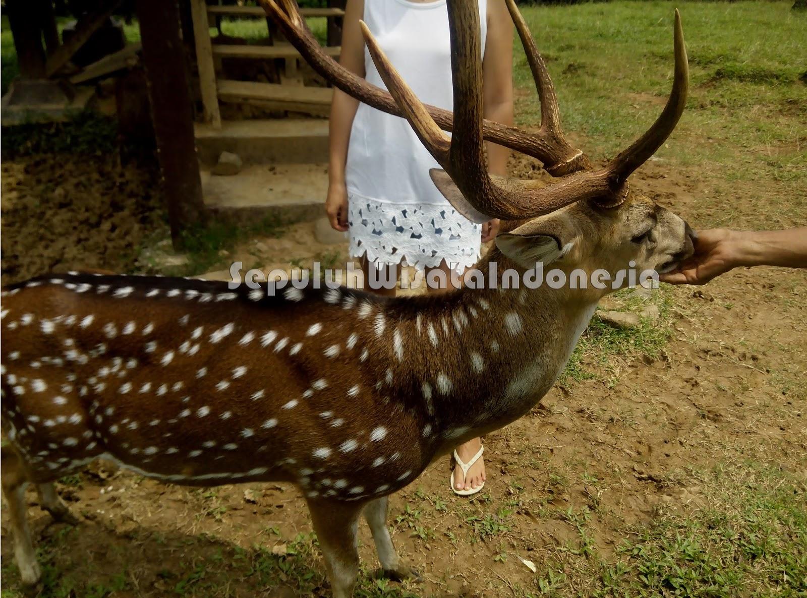 Cariu Pusat Penangkaran Rusa Bogor Wisata Indonesia 3 Giri Jaya