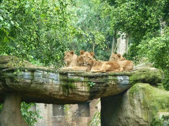 Berkunjung Taman Safari Indonesia Kabupaten Bogor Plh Lokasi Kab