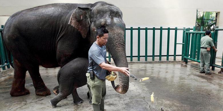 Dunia Afrika Hadir Taman Safari Indonesia Kompas Indah Bermain Anaknya