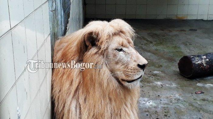 Foto Singa Putih Satwa Taman Safari Indonesia Sangar Mirip Film