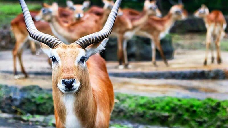 Info Lengkap Taman Safari Bogor Piknikmu Makin Seru Piknik Lechwe