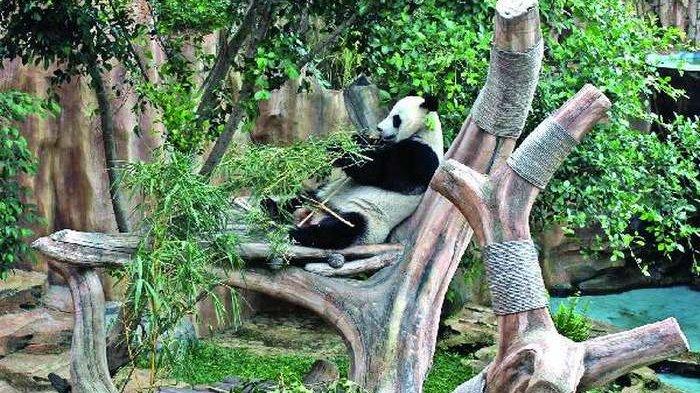 Istana Panda Taman Safari Indonesia Siap Dibuka Wartakota Kab Bogor