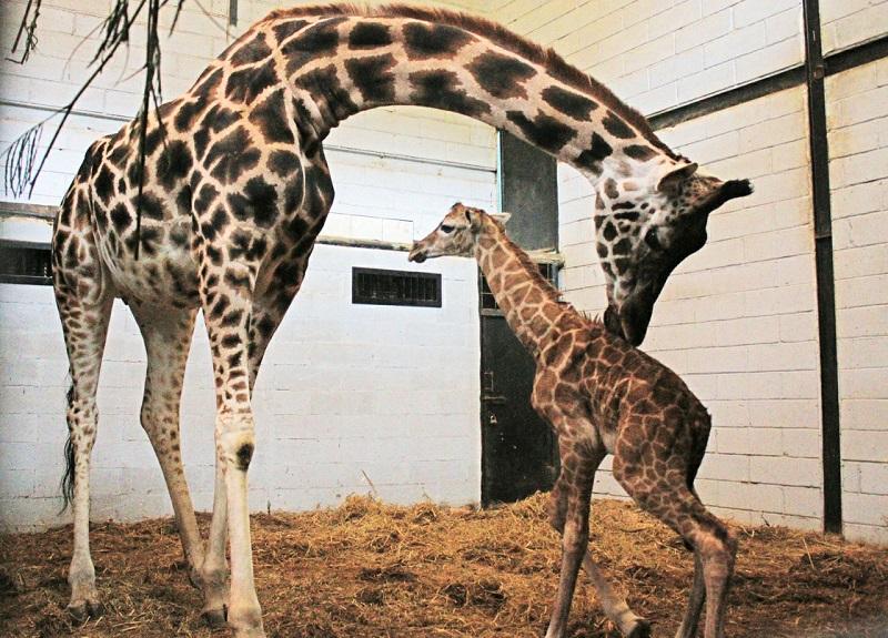 Kabar Gembira Bayi Jerapah Afrika Lahir Taman Safari Bogor Https