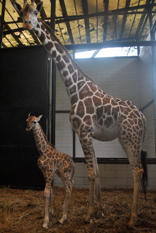Kelahiran Anak Jerapah Taman Safari Indonesia Aktual Seekor Giraffa Camelopardalis