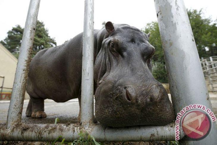 Kuda Nil Kerdil Lahir Taman Safari Indonesia Antara News Kab