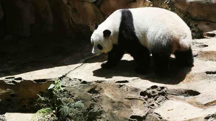 Lucunya Tingkah Dua Panda Raksasa Taman Safari Foto Gooto Seekor