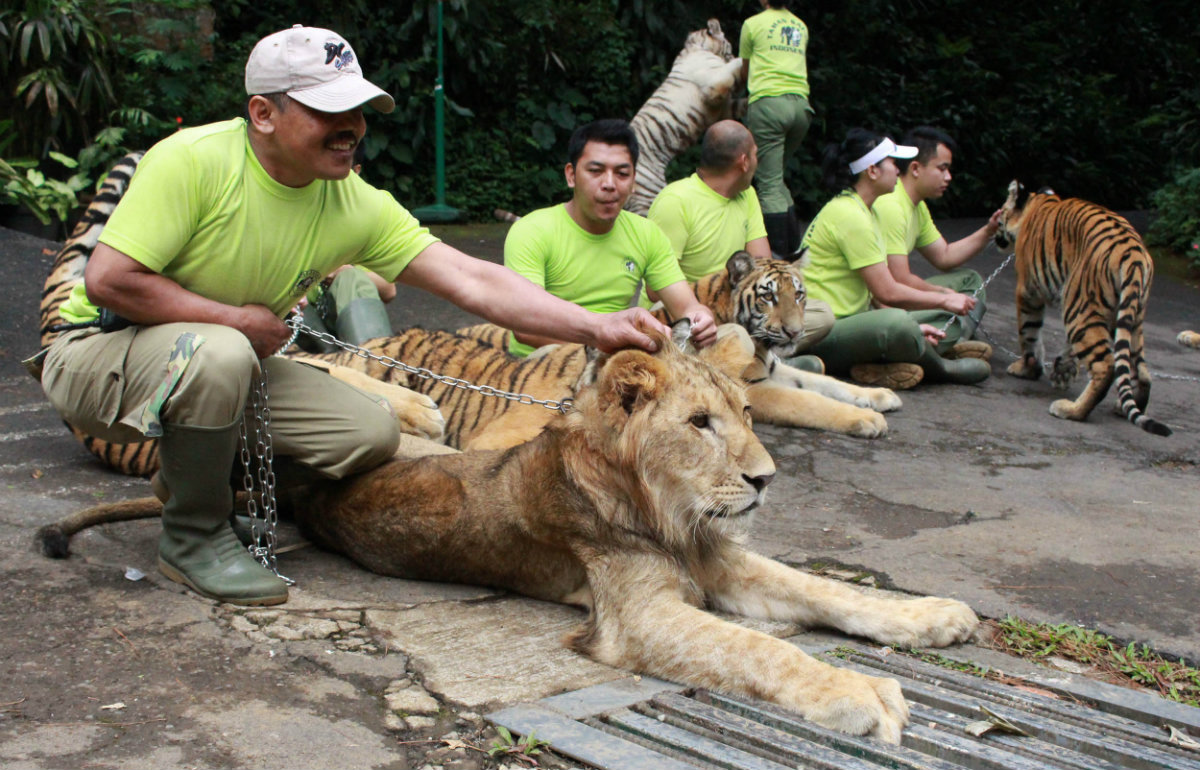 Menyoroti Dugaan Pembiusan Singa Taman Safari Indonesia Kab Bogor