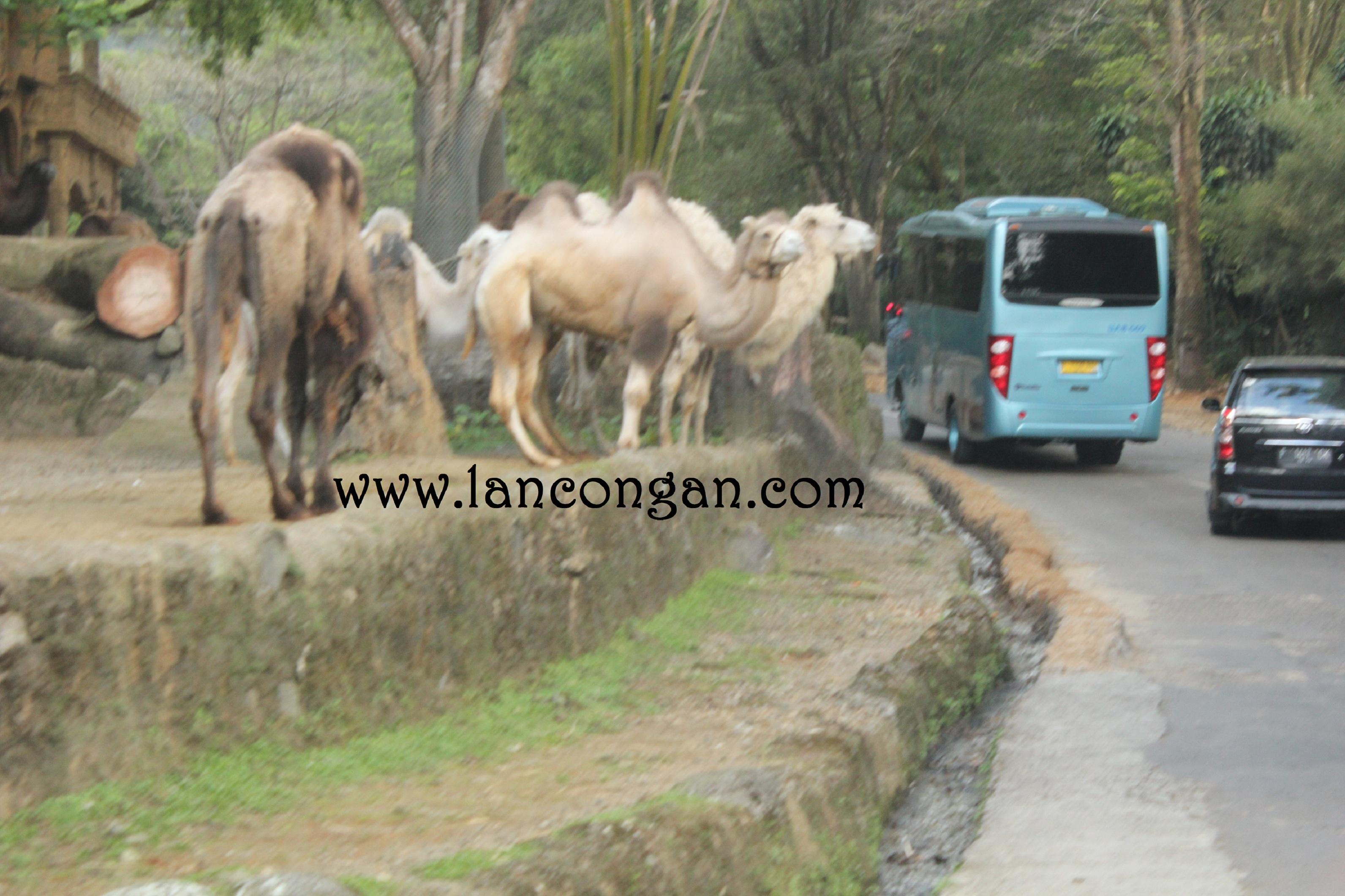 Paket Gathering 2017 Taman Safari Bogor Lancongan Travel Planner Tour