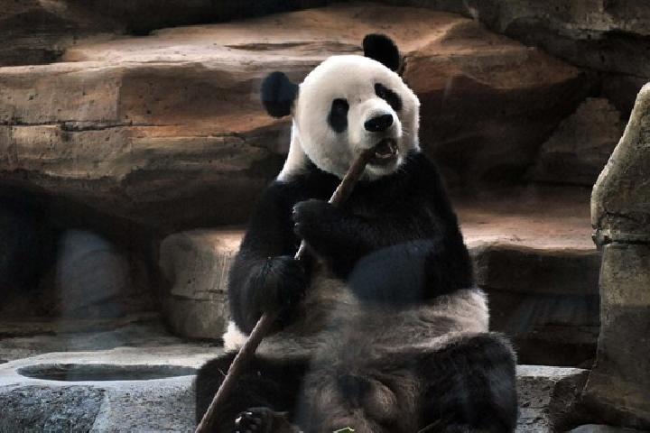 Panda Raksasa Taman Safari Sehari Makan 30 Kilogram Bambu Jantan