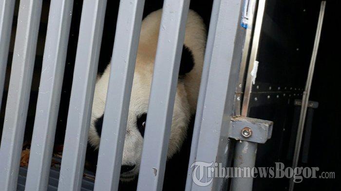 Panda Tiba Taman Safari Indonesia Cisarua Ternyata Punya Nama Tribun