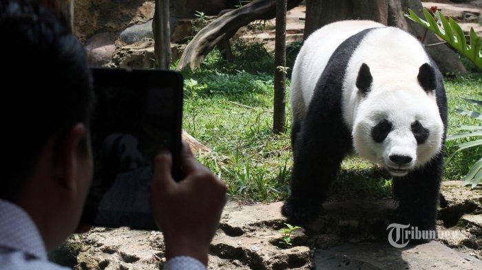Perwakilan Tiongkok Kunjungi Taman Safari Bogor Istana Panda Siap Dibuka