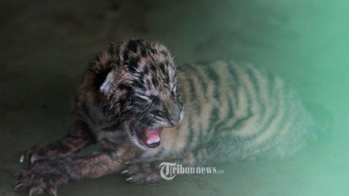 Ribuan Hewan Taman Safari Indonesia Miliki Ktp Tanggal Lahir Hingga