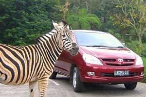 Taman Safari Cisarua Jakarta Utiket Indonesia Kab Bogor