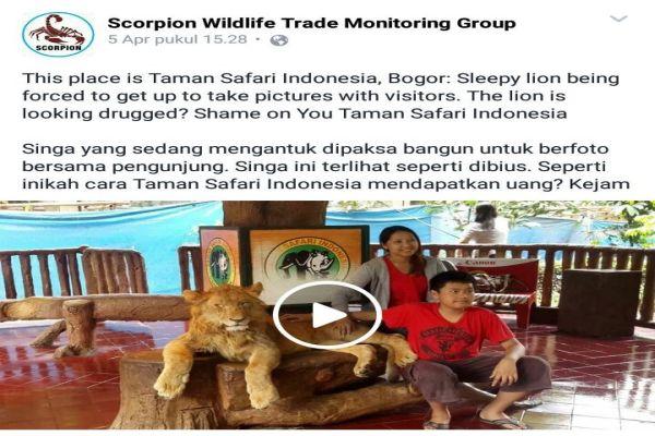 Taman Safari Indonesia Bantah Bius Singa Komersil Okezone News Https