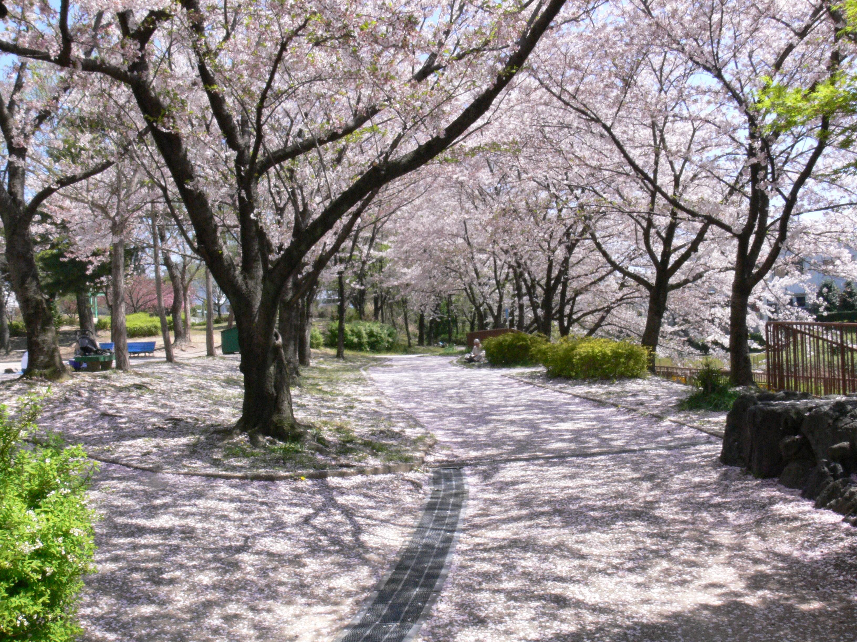 8 Taman Bunga Indonesia Tak Kalah Cantik Eropa Sakura Kebun