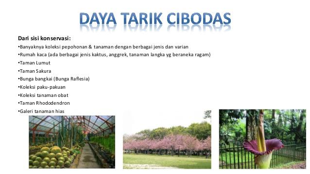 Akomodasi Fasilitas Kebun Raya Cibodas Pangrango 15 Taman Sakura Kab