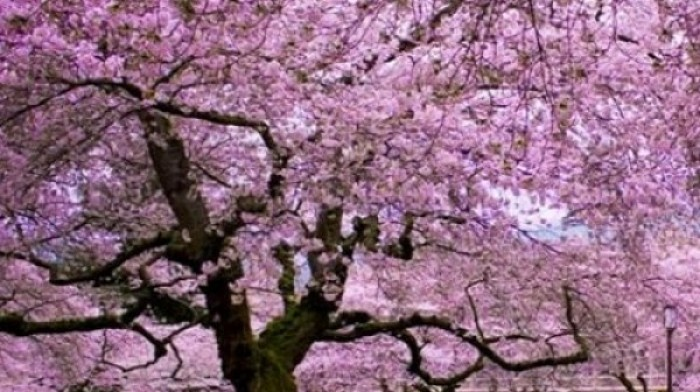 Bunga Sakura Mekar Kebun Raya Cibodas Tarik Pengunjung Taman Kab