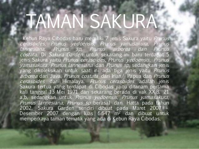 Ekowisata Kebun Raya Cibodas Taman Sakura Lumut Kab Bogor
