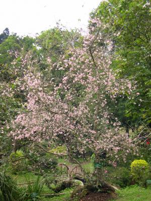 Kebun Raya Cibodas Lipi Taman Sakura Cbg P 29 Jpg