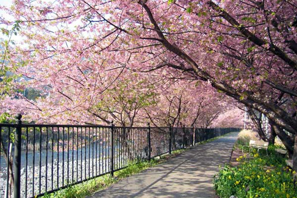 Lihat Bunga Sakura Tak Perlu Jauh Jepang Bogor Pun Punya