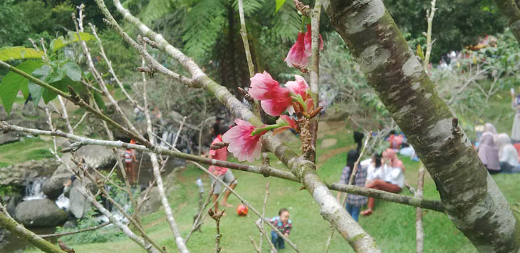 Lihat Deh Bunga Sakura Mekar Kebun Raya Cibodas Page 2