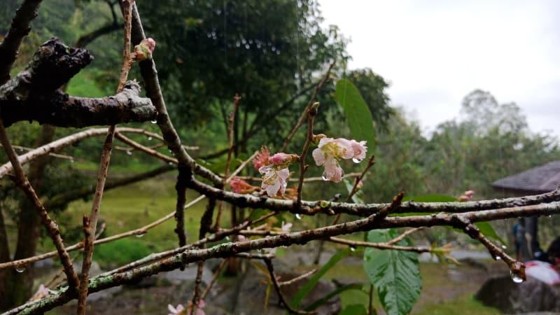 Mengenal Bunga Sakura Tumbuh Kebun Raya Cibodas Kumparan Taman Kab